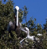 Brown Pelican with chick