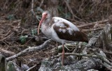 White Ibis (1st summer)