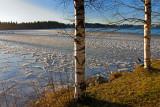 Arboretum: Morning Ice and Birches