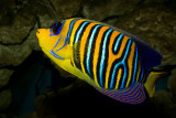 Royal(Regal) Angelfish (pygoplites diacanthus)