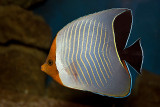Orange-Face Butterflyfish (chaetodon larvatus)