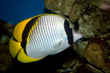 Black-backed Butterflyfish (chaetodon melannotus)