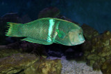Twin Spotted Wrasse (coris aygula)