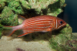 Crown Squirrelfish (sargocentron diadema)