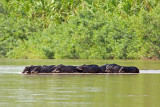 Peccaries Crossing River (collared peccary tayassu pecari tajacu)