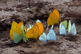 Mineral Junkies (Orange-Barred Sulphur Butterflies)