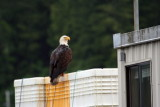 Eagles of  Alaska