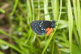 Atala Butterfly-Key Largo