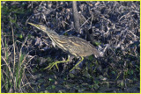 American Bittern is amazingly in open view for all to see