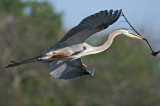 Great Blue Heron with nest material-Wakodahatchee