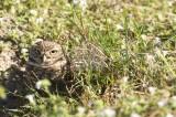 Burrowing Owl  29994.jpg