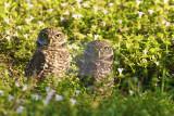 Burrowing Owl  29995.jpg