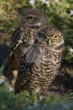 burrowing_owl_brian_piccolo_park_fort_lauderdale