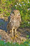 Burrowing Owl  30006.jpg