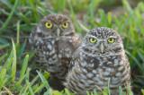 Burrowing Owl  30013.jpg
