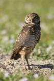 Burrowing Owl  30017.jpg