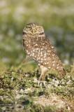 Burrowing Owl  30020.jpg
