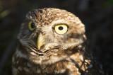Burrowing Owl  30022.jpg