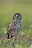 Burrowing Owl  30024.jpg