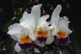 Cat Orchid trio