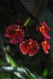 Red Oncidium