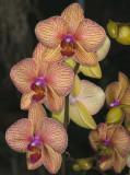 Baldans Kaleidoscope  Phal orchid