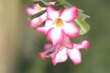 Key Largo Flower