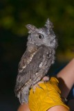 Screech Owl from SEE North Center