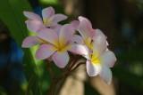 Frangipani Flowers  215.jpg