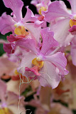 Vanda Hyrbid RF Orchids