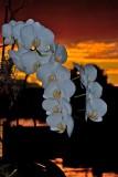 Phals in Sunset