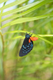 Coontie or Zamia Hairstreak Butterfly