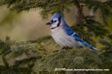 bluejay88.jpg