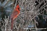cardinal79.jpg
