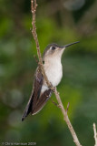 Wedge-tailed Sabrewingfemale