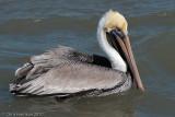 Pelicans, Cormorants, Gannets, and relatives