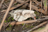 Nutria SkullMyocastor coypusPort Aransas Birding Center