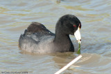 Coots and Gallinules