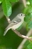 Ruby-crowned KingletPort Aransas Birding Center