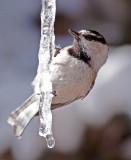 B-Assigned-Chickadee on Ice.jpg.jpg