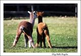 Faraway Farms Alpacas