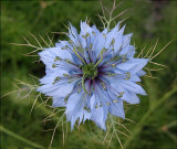 Nigella...I love these sweet little flowers!  The common name is Love in a Mist  They reseed in the garden.