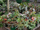 Lower Lath House With Begonias and Ferns