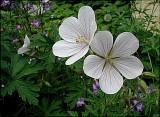 Geranium Kashmir White
