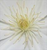 Center of Clematis bloom