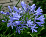 Dwarf Agapanthus (Lily of the Nile)