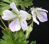 Geranium (Cranesbill variety)