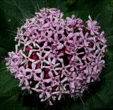 Clerodendrum bungei (Glory Bower)