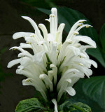 Jacobinia carnea (Brazilian Plume Flower)