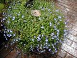 Perennial Lobelia with Frog ...I love Perennial Lobelias!